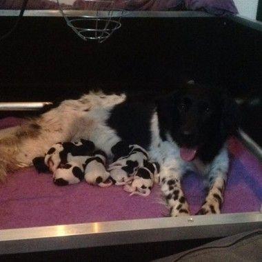 Friese stabij pups van Dine en Zorro 11 januari 2016 geboren